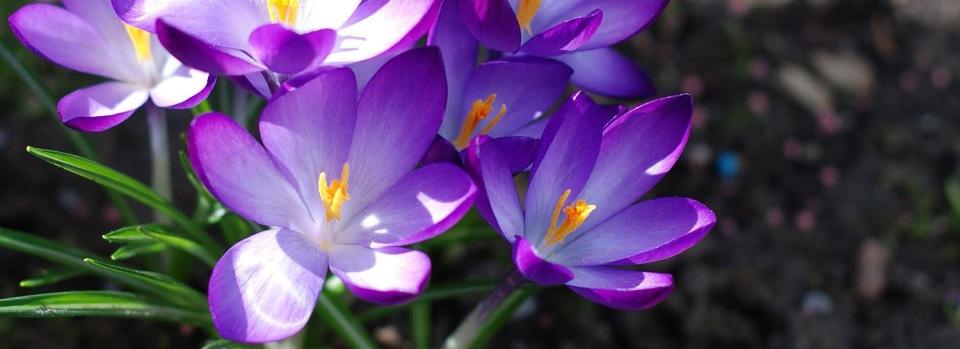 lente-wallpaper-met-paarse-krokussen