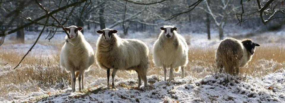 schapenindesneeuw